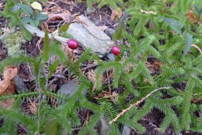 20081029ツルリンドウの赤い実.jpg