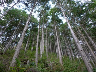 20081029見事な人工林.jpg