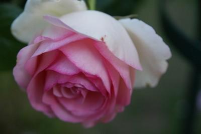 20130522niwa-rose.jpg